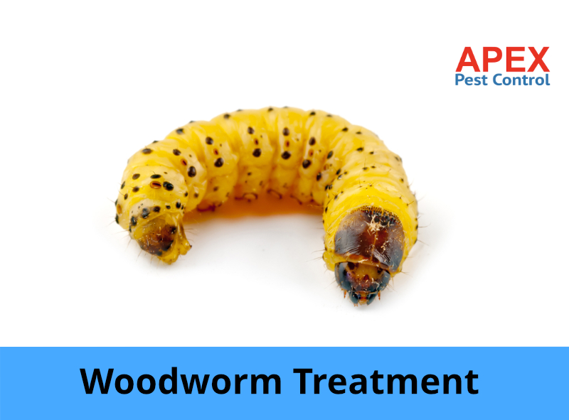 woodworm treatment - woodworm larvae